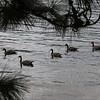 Canada Geese on Okanagan Lake, evening walk