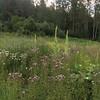 Wildflowers at Revelstoke Ski Resort