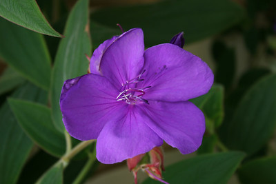 This is a picture of the very rare ROYCE HUFFMAN PURPLE HIBISCUS.