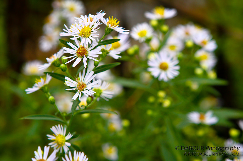 Daisys in the park