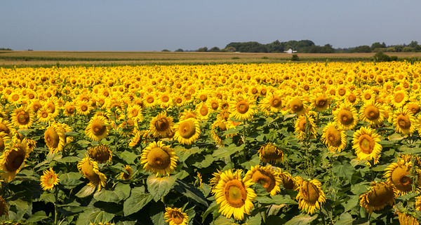 Sunflower Field in Northern Illinois