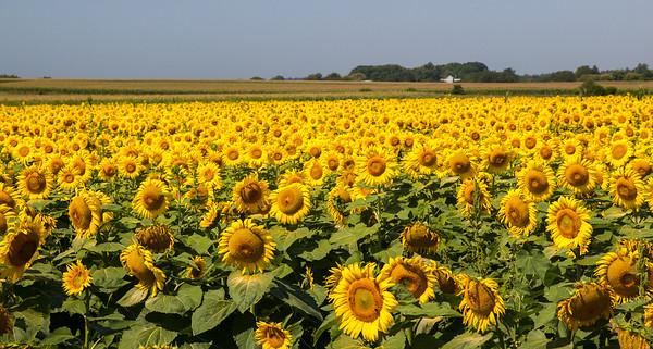 Sunflower Field in Northern Illinois
