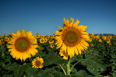 Sunflowers in the early morning light at Allora.