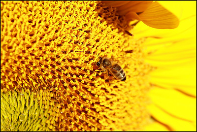 A bee, and dew drops captured early morning, on a sunflower