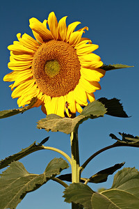 A single sunflower against the blue sky of the early morning.