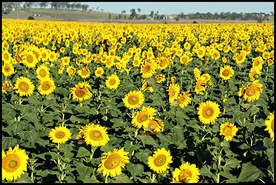 A beautiful field of yellow sunflowers at Allora QLD.
