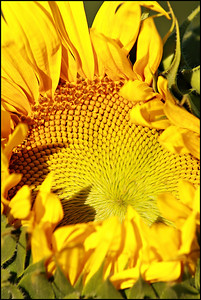 view of an opening sunflower