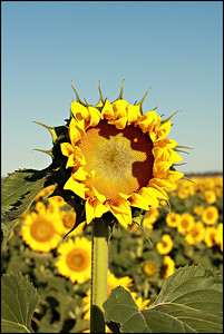 A new sunflower, opening to greet the morning sun.