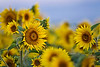 Sunflowers, Dixon, July, 2010