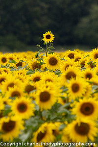Sunflowers-0157