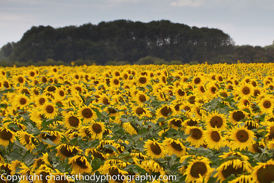 Sunflowers--4