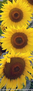 Sunflowers-0060