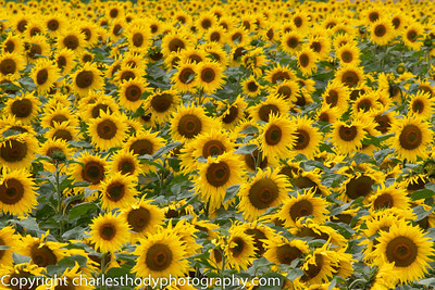 Sunflowers-0166