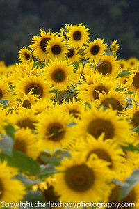 Sunflowers--7