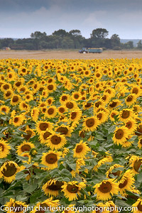 Sunflowers-0149