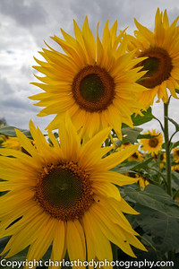 Sunflowers-0137