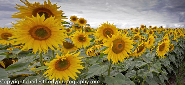 Sunflowers-0131