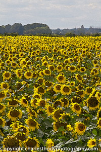 Sunflowers--2