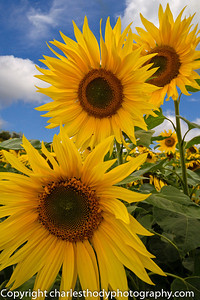 Sunflowers-0143