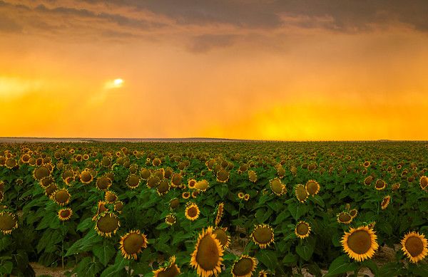 Sunflowers & Sunsets