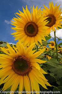 Sunflowers--3