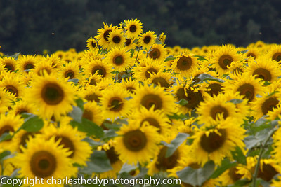 Sunflowers-0162