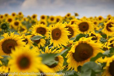 Sunflowers-0094