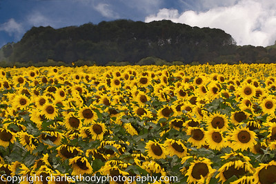 Sunflowers--5