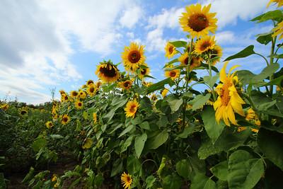 sunflowersIMG_5945