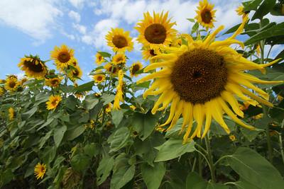 sunflowerIMG_5948