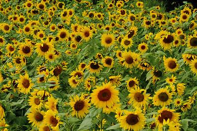 sunflowerIMG_5844