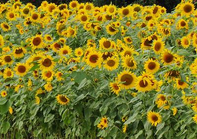 sunflowerIMG_5936