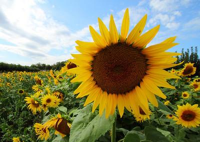sunflowerIMG_5954 b