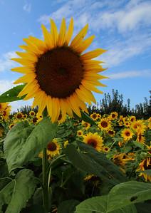 sunflowerIMG_5953 b