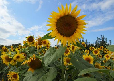 sunflowerIMG_5952