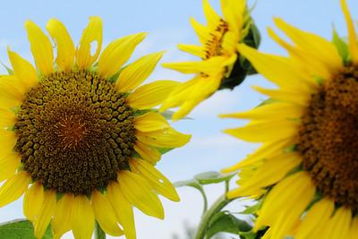sunflowerIMG_5843
