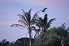 Osprey at Sunrise <br /> Merritt Island, Florida<br /> 32-0073a