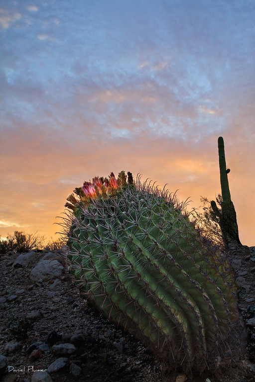 Barrel Cactus At Sunrise