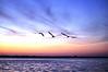 Pelicans at Sunrise <br /> Merritt Island, Florida<br /> 28-0033a