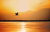 Great Blue Heron at Sunrise <br /> Merritt Island, Florida<br /> 130-7868f