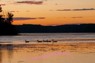 Canadian Geese swin by just before sunrise at Stoney Creek.