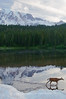Deer walking thru Reflection Lake, Mount Rainier National Park.