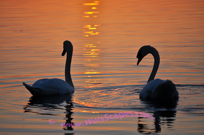 Swans at sunset.