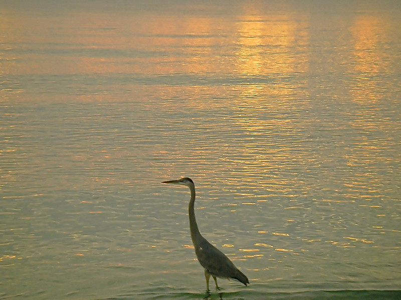 Gulfstream sunrise with heron; Election Day, 2012 in Ocean Ridge