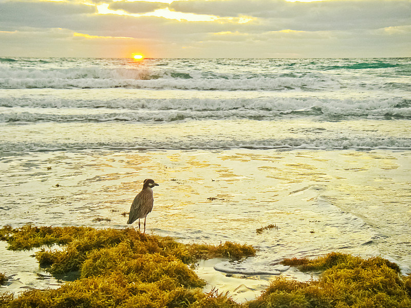 Yellow-crowned night heron watches the sun rise with me on the beach at Briny Breezes.