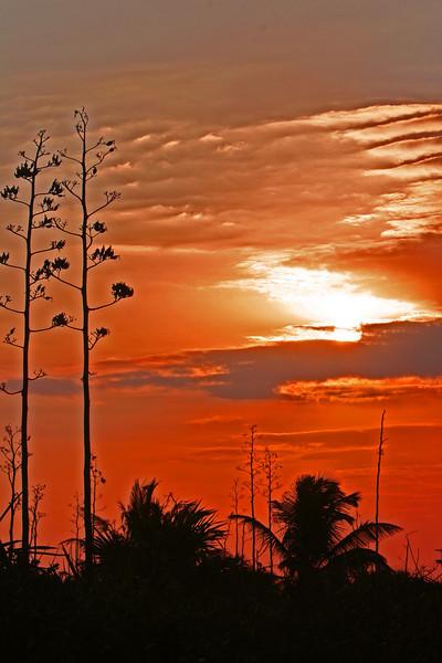 Sunrise century plants