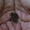 This small toad was discovered on a field survey.