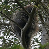 This young porcupine climbed the tree and watched from above