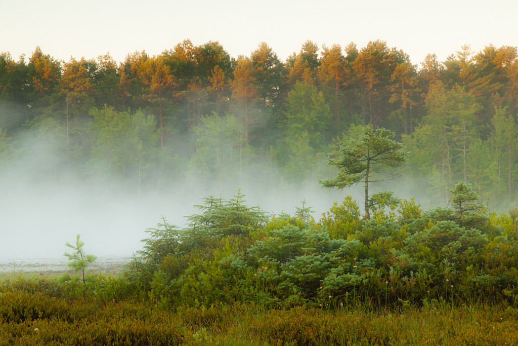 Ponemah bog at sunrise with bonus fog!  If the temps dip low enough there's always thick fog here in the morning.  The sky is a bit blah, but the sun skimming the treetops is pretty great.