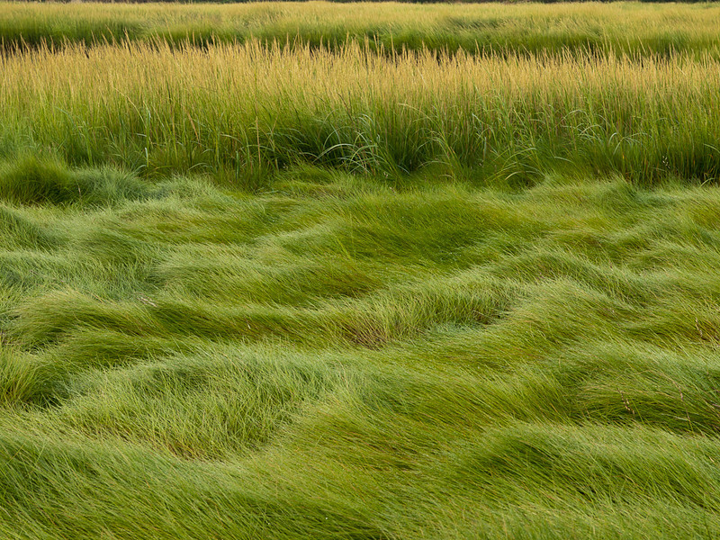 Marsh grasses in early morning light - a study at Lubberland Creek Preserve, Durham NH.